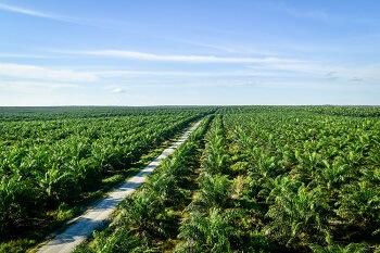 Olio di palma sostenibile RSPO vantaggi certificazione